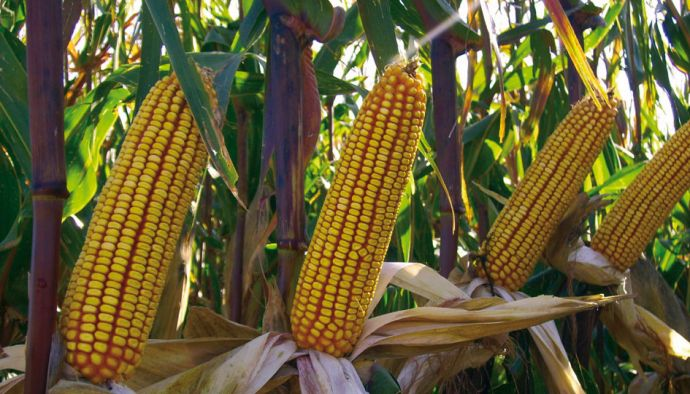 100 bin ton mısır çiftçinin elinde kaldı