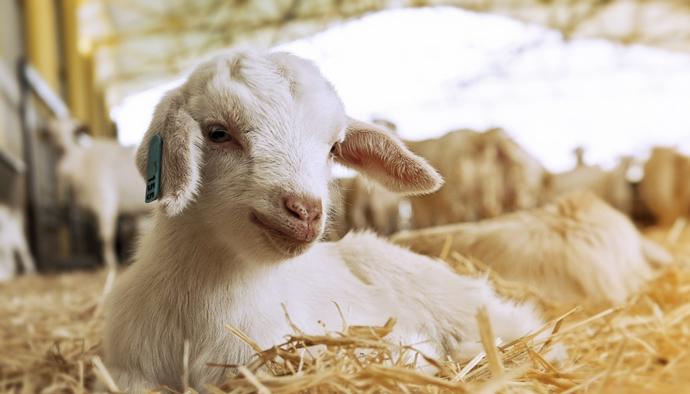 Anaç Koyun ve Keçi Destekleme Ödemeleri Belirlendi
