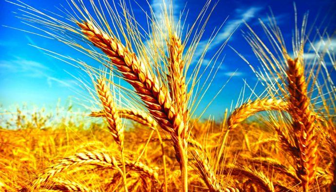 Buğday Fiyatı %10,6 Arttı