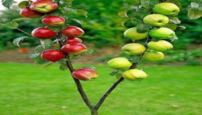 Hangi Ağaç hangi ağaca aşılanır