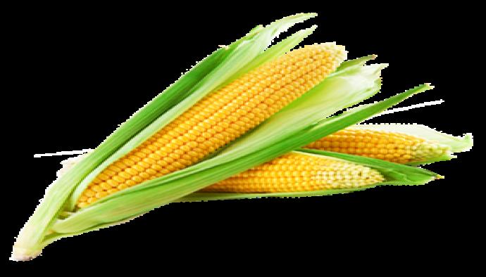 Sıraya Mısır ekimi,Mısır tarımı,Mısırın istekleri hakkında bilgi