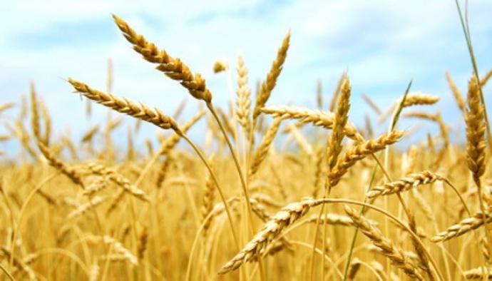 """Tahılda """"Ekim Zamanı"""" Uyarısı"""