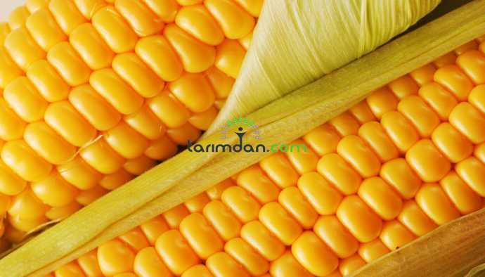 TMO'nun mısır fiyatı çiftçiyi mutlu etmedi