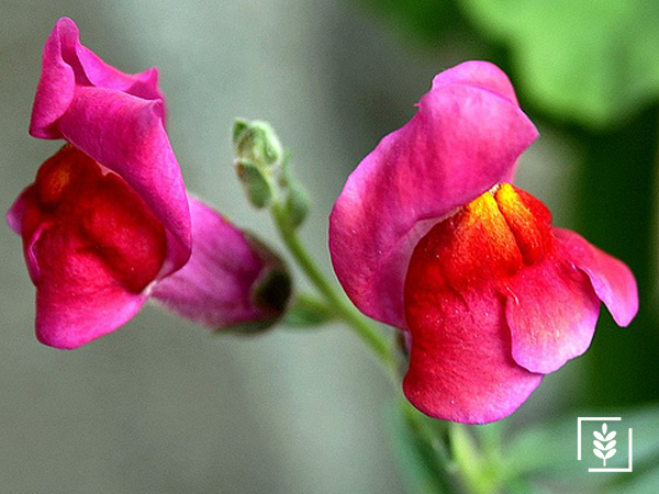 Aslanağazi Çiçeği Tohumu (1-Paket)