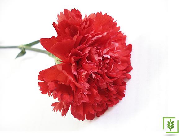 Karanfil Kırmızı Tohumu (1-Paket)