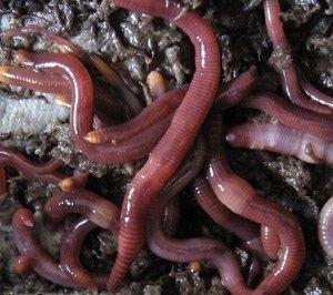 Kırmızı california solucanı ve organik gübre üretimi
