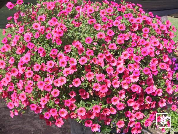 Petunya Çiçeği Tohumu (1-Paket)