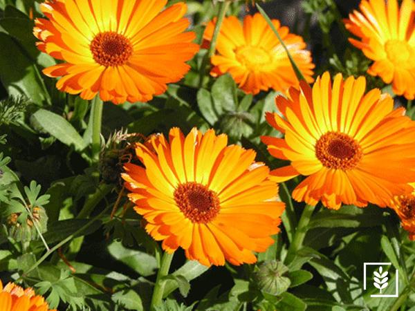 Şamdan Çiçeği Tohumu (1-Paket)