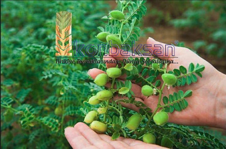 Sertifikalı Sarı 98 Nohut Tohumu