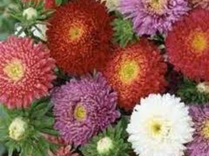 Yıldız Çiçeği Kaliforniya Tohumu (1-Paket)