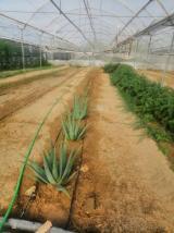 Aloevera 15-20 cm fide