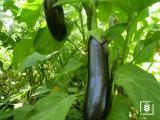 Aydın Siyah Patlıcan Tohumu (1-Paket)