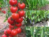 Doğal domates - siparişleriniz kargo ile adrese teslim edilir