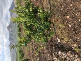 Emsalsiz dikenli limon bahçesi
