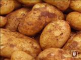 Hermes  Patates Tohumu