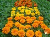 Karaköz Kadife Çiçeği