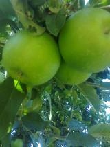Karaman Merkez Satılık Elma