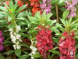 Kına Çiçeği Tohumu (1-Paket)
