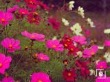 Kozmoz Çiçeği Tohumu (1-Paket)