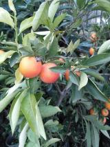 Mandalina agaci