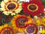 Menaz Çiçeği Tohumu