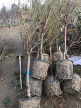 Saksılı saksisiz her yaşta meyve ağaçları