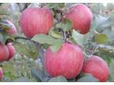 Satılık Elma Çeşitleri 4 Çeşit
