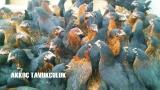 Satılık Tavuk İlanları | Kümes Hayvanları | Çadır Kümes Kurulumu