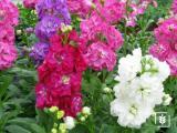 Şebboy Çiçeği Tohumu