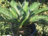 SİKAS Tropikal iç veya dış mekana uyumlu 3 yaşında saksılı bitki