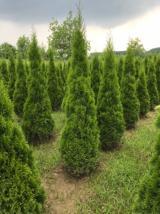 Smargat Mazı Ağacı