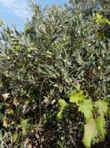 Zeytin/zeytinyağ